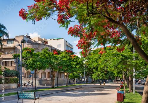 Photo Delonis ( Poinciana) trees  blooming on Boulevard Rothschild in Tel Aviv