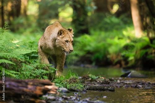Carta da parati Close-up portrait of a lioness chasing a prey in a creek