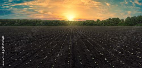 Obraz na plátně Panoramic shot of a black field with even rows of sunflower shoots at sunset