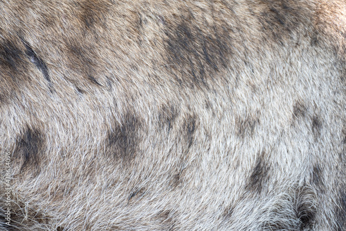 Canvastavla spotted hyena fur for nature background