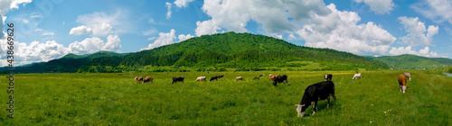 Obraz na plátně Panorama of green pasture with cows