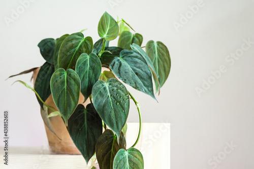 Obraz na plátně Philodendron micans pot on a wooden shelf.