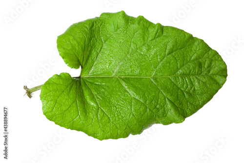 Fotomural large burdock leaf on white background. Use as texture