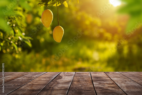 Fotografia Ripe Mango tropical fruit hanging on tree with rustic wooden table and sunset at