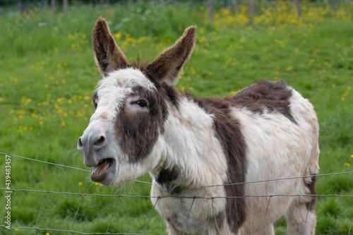 Valokuvatapetti donkey in the meadow