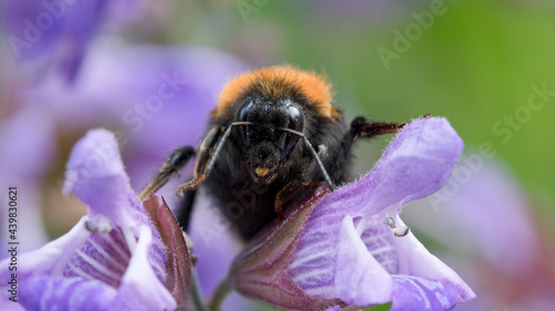 Valokuva Tree bumblebee (Bombus hypnorum) on sage flowers in June in a garden in England,