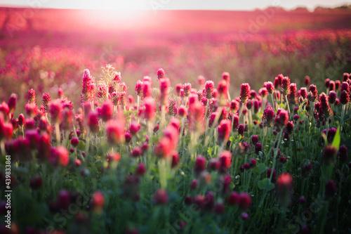 Wallpaper Mural Blooming fields of red crimson clover - Trifolium incarnatum, summer meadow land
