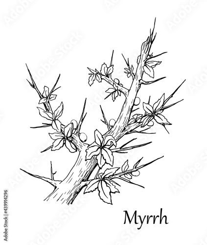 Fotografia Myrrh branch. Vector illustration. Hand drawn sketch