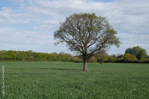 Fototapeta Large tree on a meadow in Brentwood, Essex