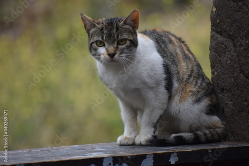 Fotografia Wild Cat Tricolor White, Black and Brown, Seat on His Legs  Looking You with His