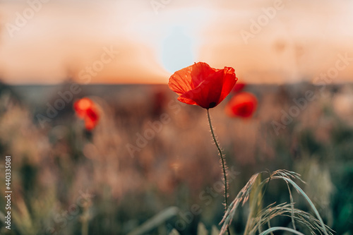 Open bud of red poppy flower in the field at mountainous countryside