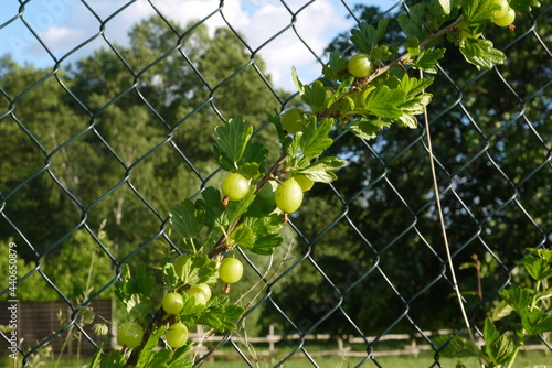 Fototapeta premium Zbliżenie gałązki agrestu na tle ogrodzenia z siatki