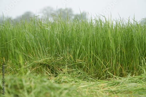 Grass with dew drops beneath a foggy morning sky with in the foreground the freshly mowed grass for silage or hay