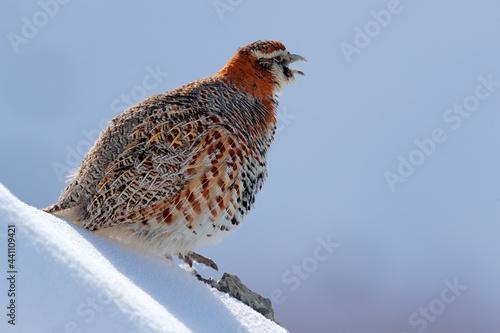 Fototapeta Tibetan Partridge, Perdix hodgsoniae, bird sitting in the snow and rock in the winter mountain
