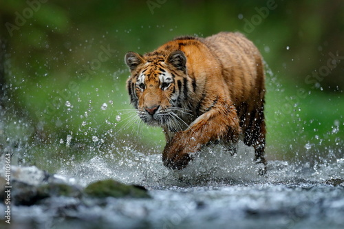 Fototapeta Wildlife in the forest, tiger river water walk