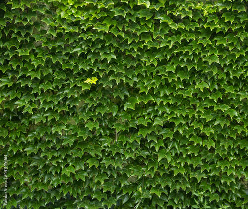 Fotografia, Obraz Green ivy wall. Texture or background. A lot of leaves.