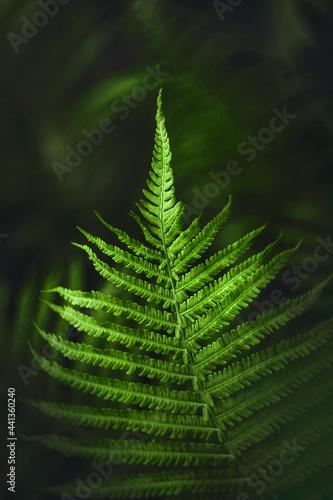 Zielone liście paproci w świetle ciemnego, parku. Naturalny wzór tekstury, tła. Może służyć jako obraz, tapeta.