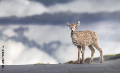 Canvas Print Big Horn Lamb