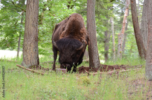 Canvas Print Lone bison leaning against a tree grazing