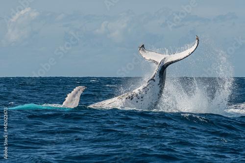 Fototapeta Whale watching humpback whales up close near Byron Bay, NSW on the east coast of Australia
