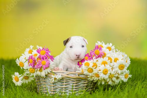Billede på lærred White Miniature Bull Terrier puppy sits inside a basket with chamomiles on green