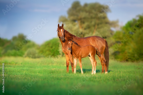 Stampa su Tela Red mare and foal on green pasture