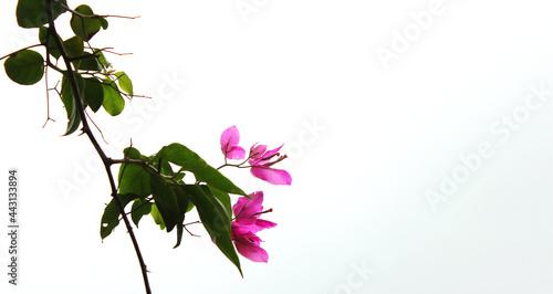 Leinwand Poster Pink Bougainvillaea