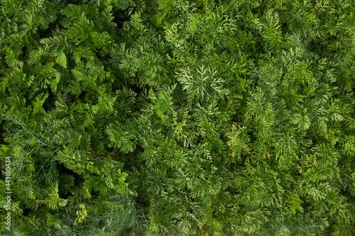 Fotografia, Obraz Growing carrot leaves texture, close-up