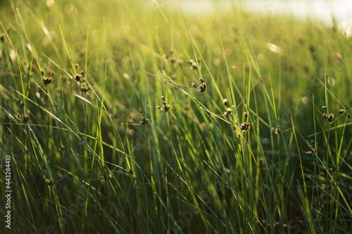 Obraz na płótnie Fresh green coastal grass sedge with lush long leaves moving by wind on the beach over sunset sky