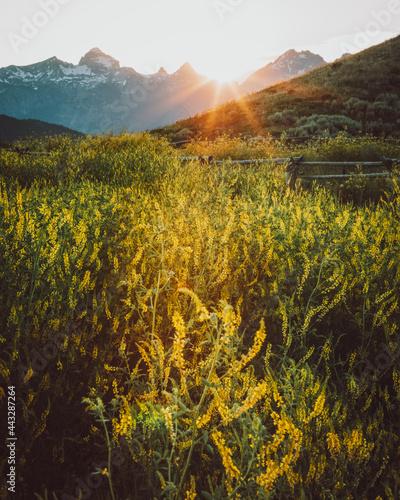 Fototapeta Grand Teton National Park and Yellow Flowers at Sunset