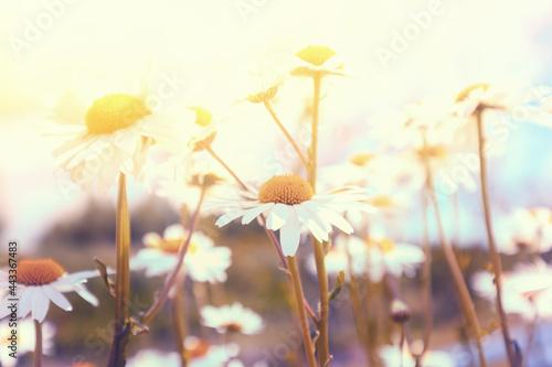 Canvas Vintage wild chamomile flowers