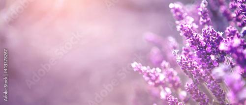 Banner with soft focused Lavender flowers at sunset Blooming Violet fragrant lavender flower summer landscape Growing Lavender, harvest, perfume ingredient, aromatherapy Lavender field, copy space