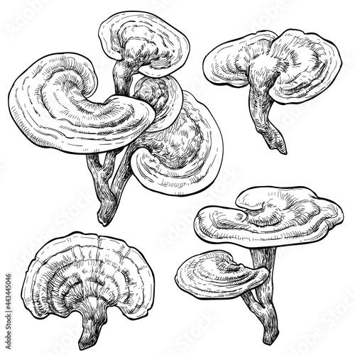 Valokuva reishi / ganoderma lucidum mushroom set