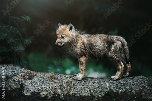 Photo wolf in the wild