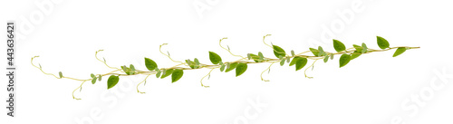Stampa su Tela Heart shaped green leaves climbing vines ivy of cowslip creeper (Telosma cordata) the creeper forest plant growing in wild isolated on white background, clipping path included