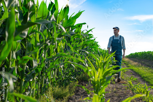Caucasian calm male maize grower in overalls walks along corn field with tablet Fototapet