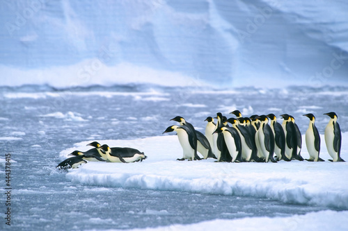 Canvas Print Emperor penguins (Aptenodytes forsteri) diving in the water near the German Neum
