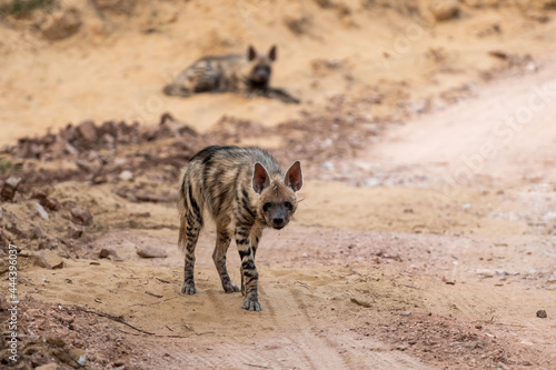 Striped hyena portrait on forest track with a road block during outdoor jungle s Fototapet