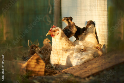Fotografia, Obraz A white broody hen with chickens in the  poultry run