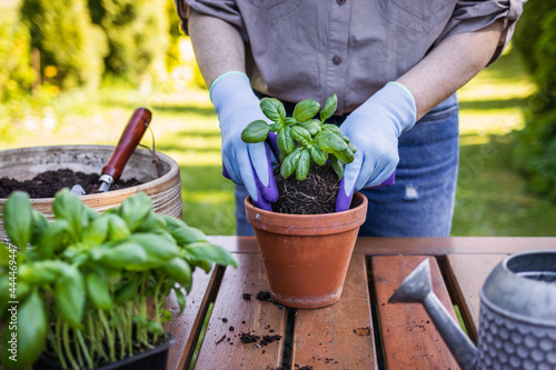 Fotografiet Woman with gardening glove planting basil herb into flower pot on table in garde