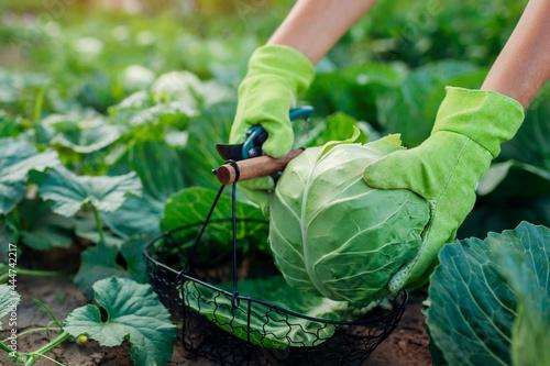 Canvas Print Gardener picking cabbage in summer garden, cutting it with pruner and putting ve