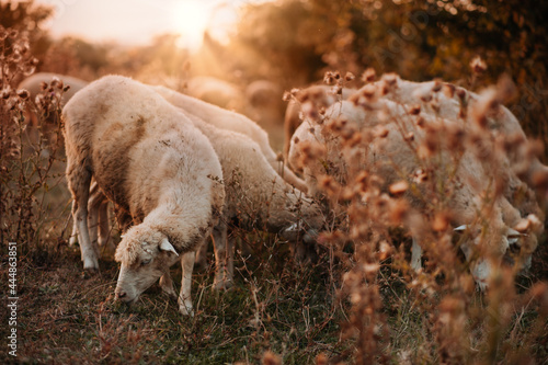 Stampa su Tela A flock of sheep grazes on a beautiful meadow at sunset