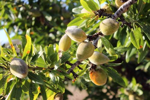 Tela Almonds on the tree