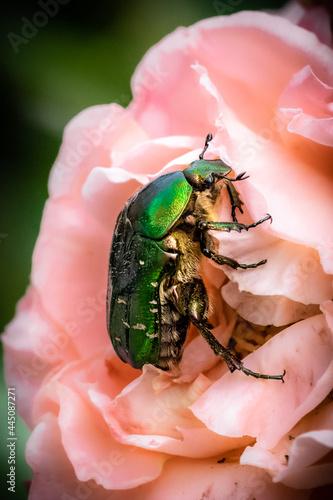 Valokuvatapetti Green green rose chafer and roses