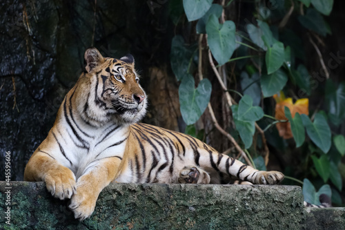 Fotografering Close up bengal tiger is beautiful animal and dangerous in forest