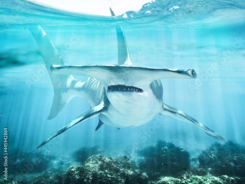 Obraz na płótnie A hammerhead shark swimming in the ocean coral reef shallows just below the water line closing in on its victim