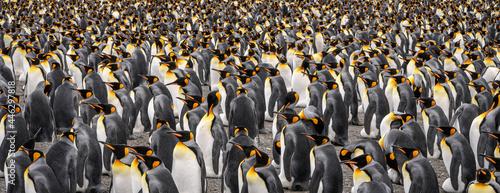Foto King penguin colony