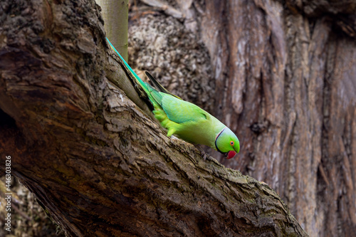 Canvas Print Rose-ringed parakeet, Psittacula krameri manillensis, also known as ring-necked