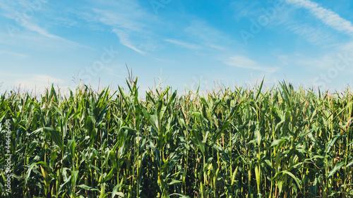 Fotografie, Obraz Corn field, corn plantation in the countryside