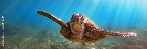 Fotografie, Obraz Green sea turtle above coral reef underwater, blue ocean in sunny tropical day